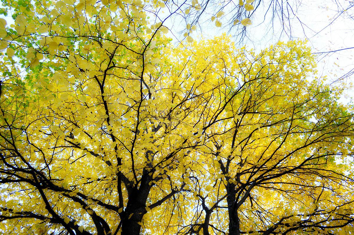 秋天的梧桐树