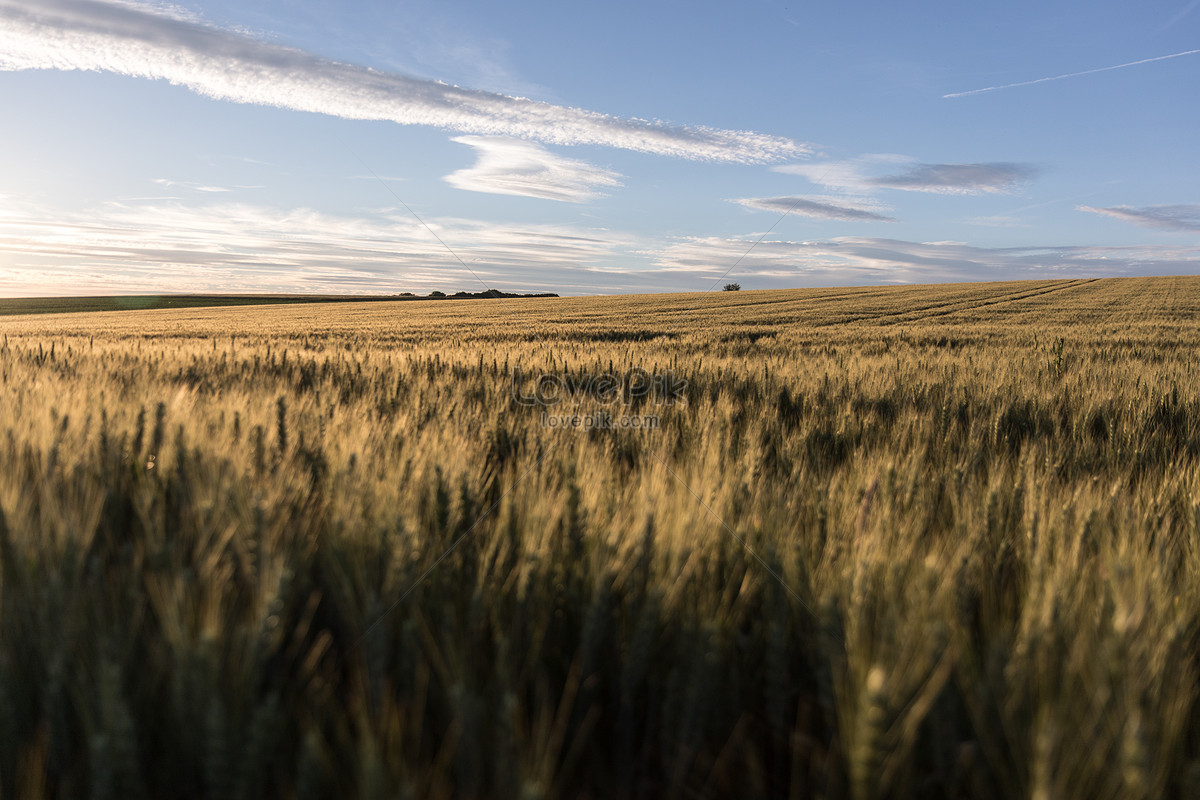 小麦田的麦香图片素材编号500459886_高清图片免费__.