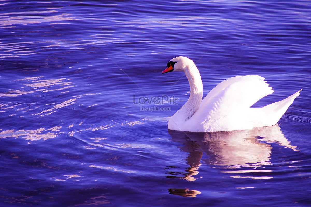 Gracefully swan – one hd wallpaper pictures backgrounds free download.