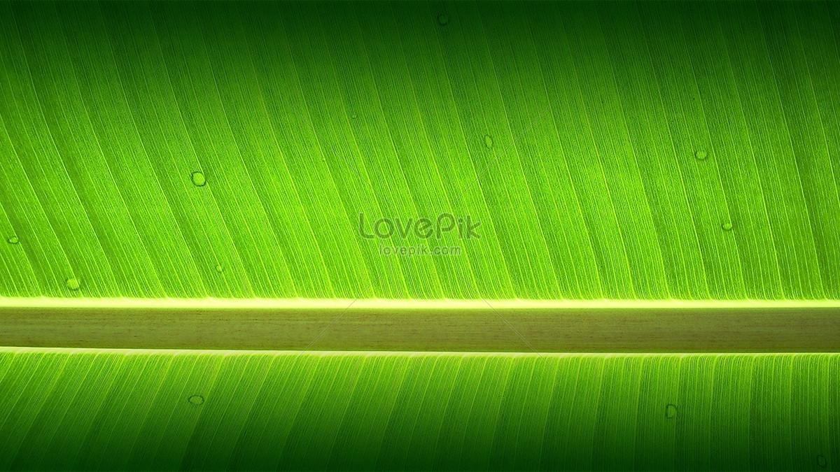 Banana Tree Photo Image Picture Free Download 36506 Lovepik Com