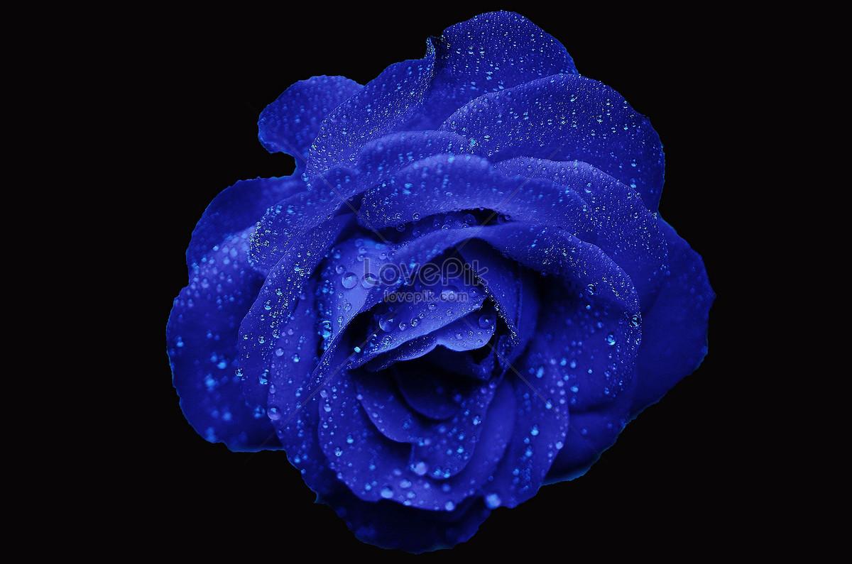 ảnh hoa hồng nền đen