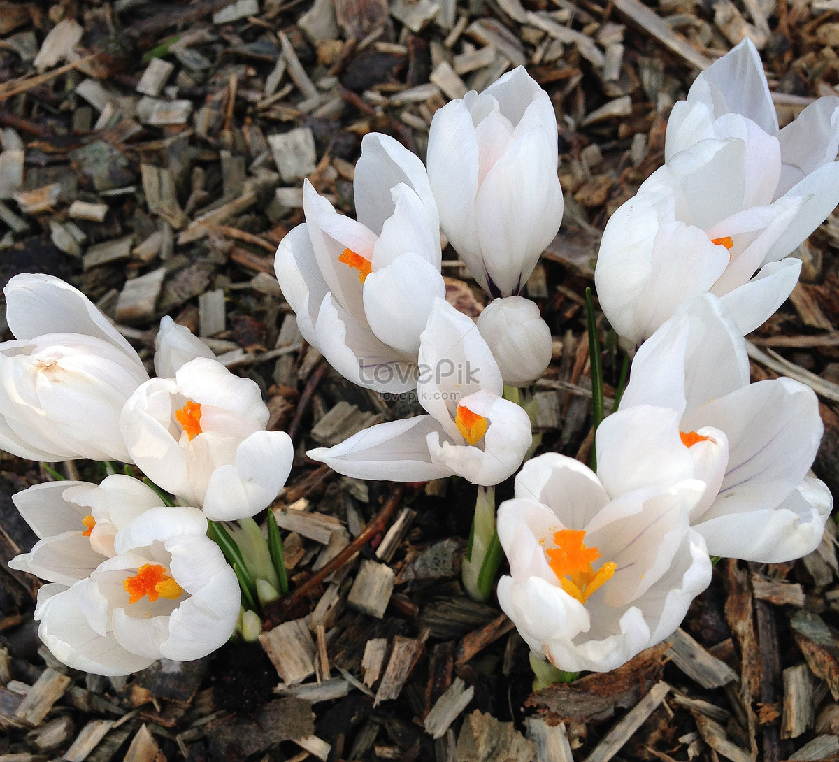 A Bunch Of White Flowers Photo Imagepicture Free Download