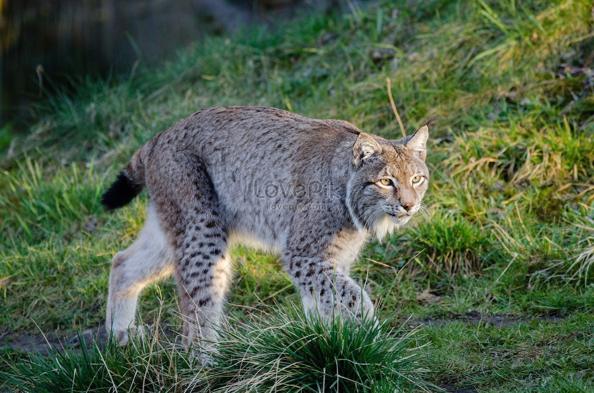 Lynx photo image_picture free download 44149_lovepik com