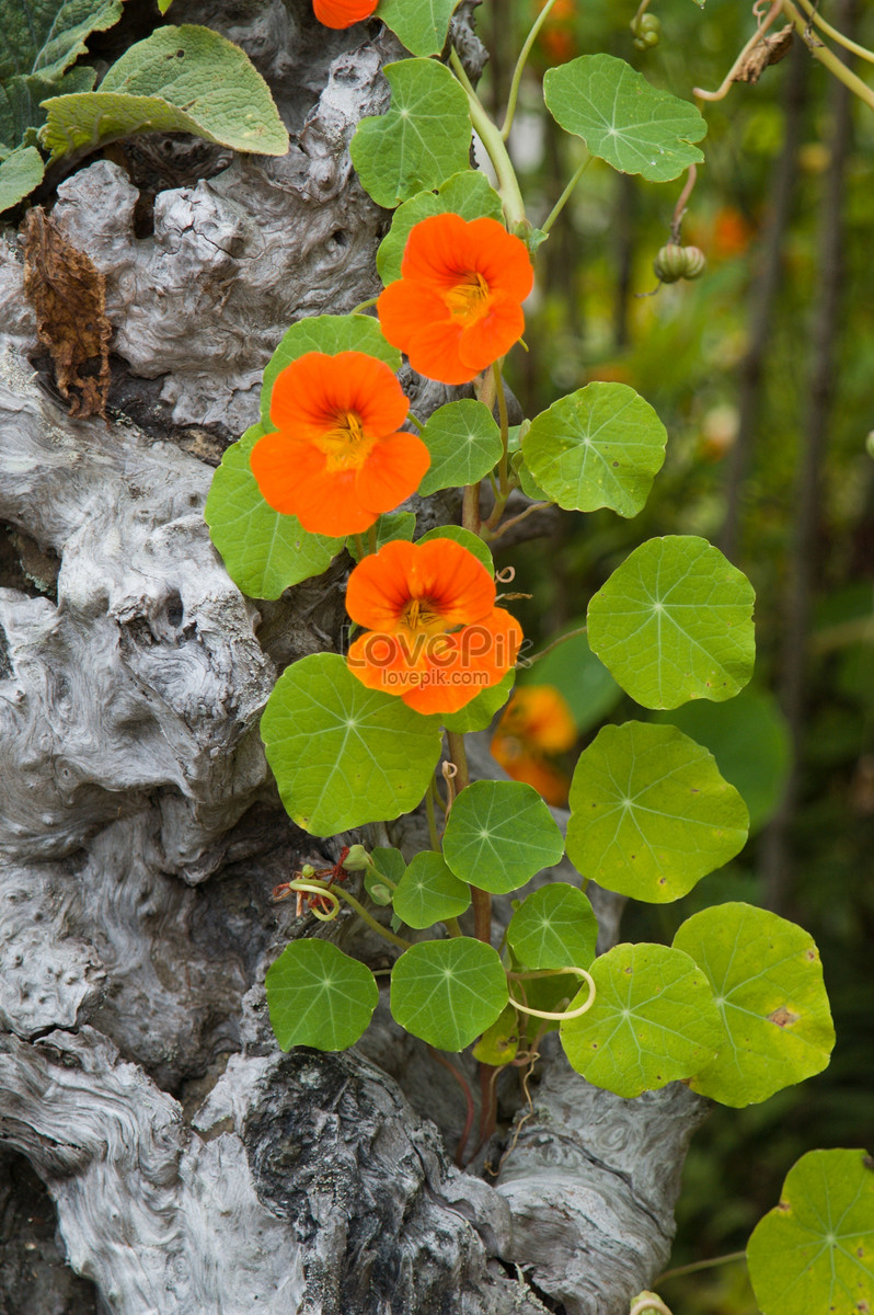 A blooming orange lotus flower photo imagepicture free download a blooming orange lotus flower izmirmasajfo