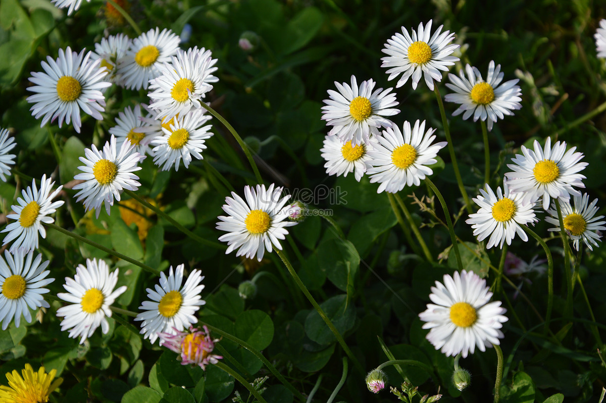 Beautiful wild daisies photo imagepicture free download beautiful wild daisies izmirmasajfo