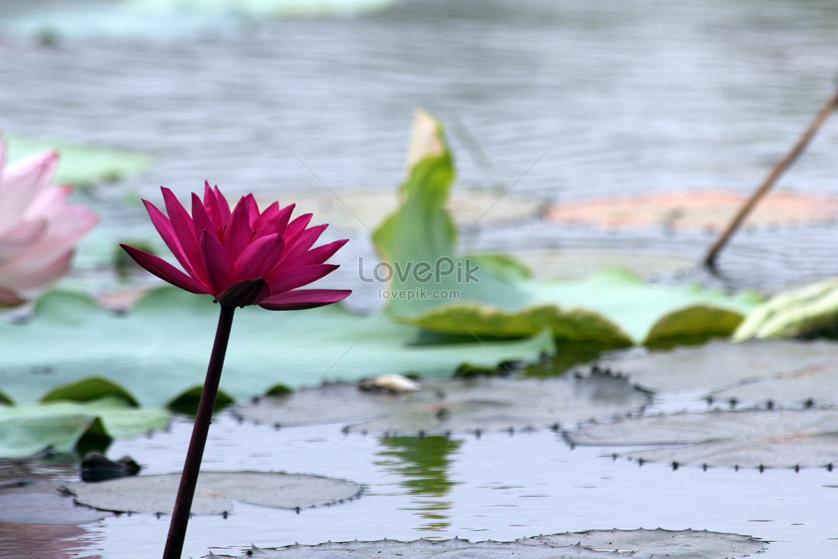 A Lotus Flower Growing In The River Photo Imagepicture Free