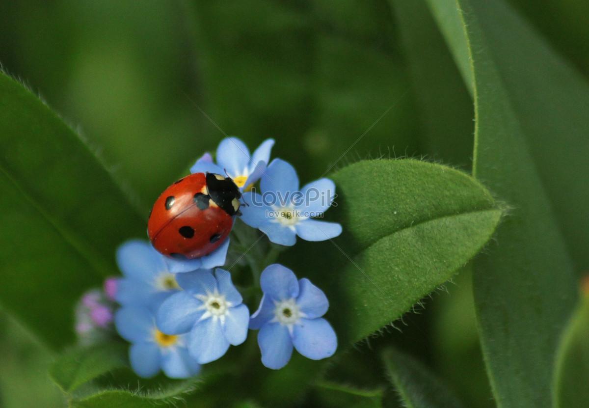 Ladybug on small blue flowers photo imagepicture free download ladybug on small blue flowers izmirmasajfo
