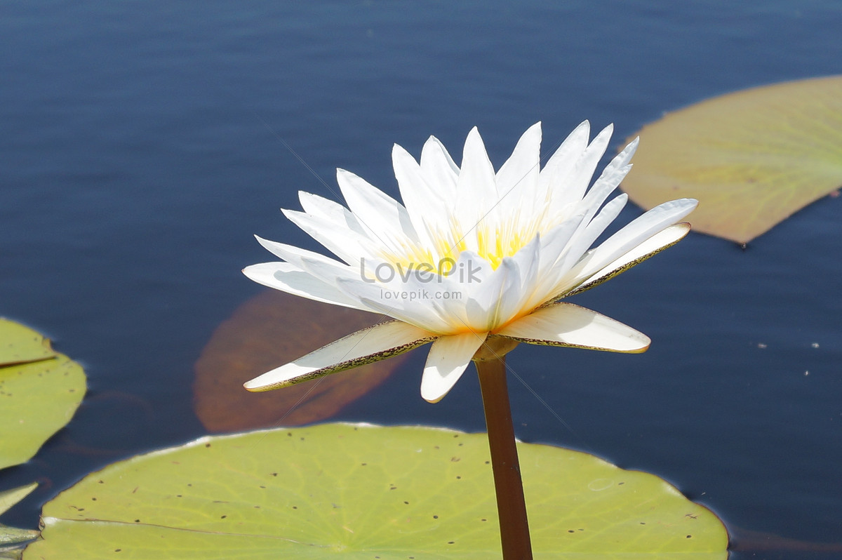 Beautiful African Lotus Photo Imagepicture Free Download