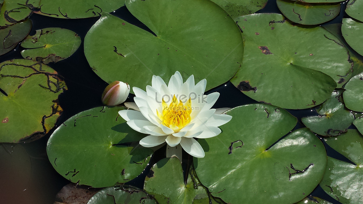 A lily pad photo imagepicture free download 114678lovepik a lily pad izmirmasajfo