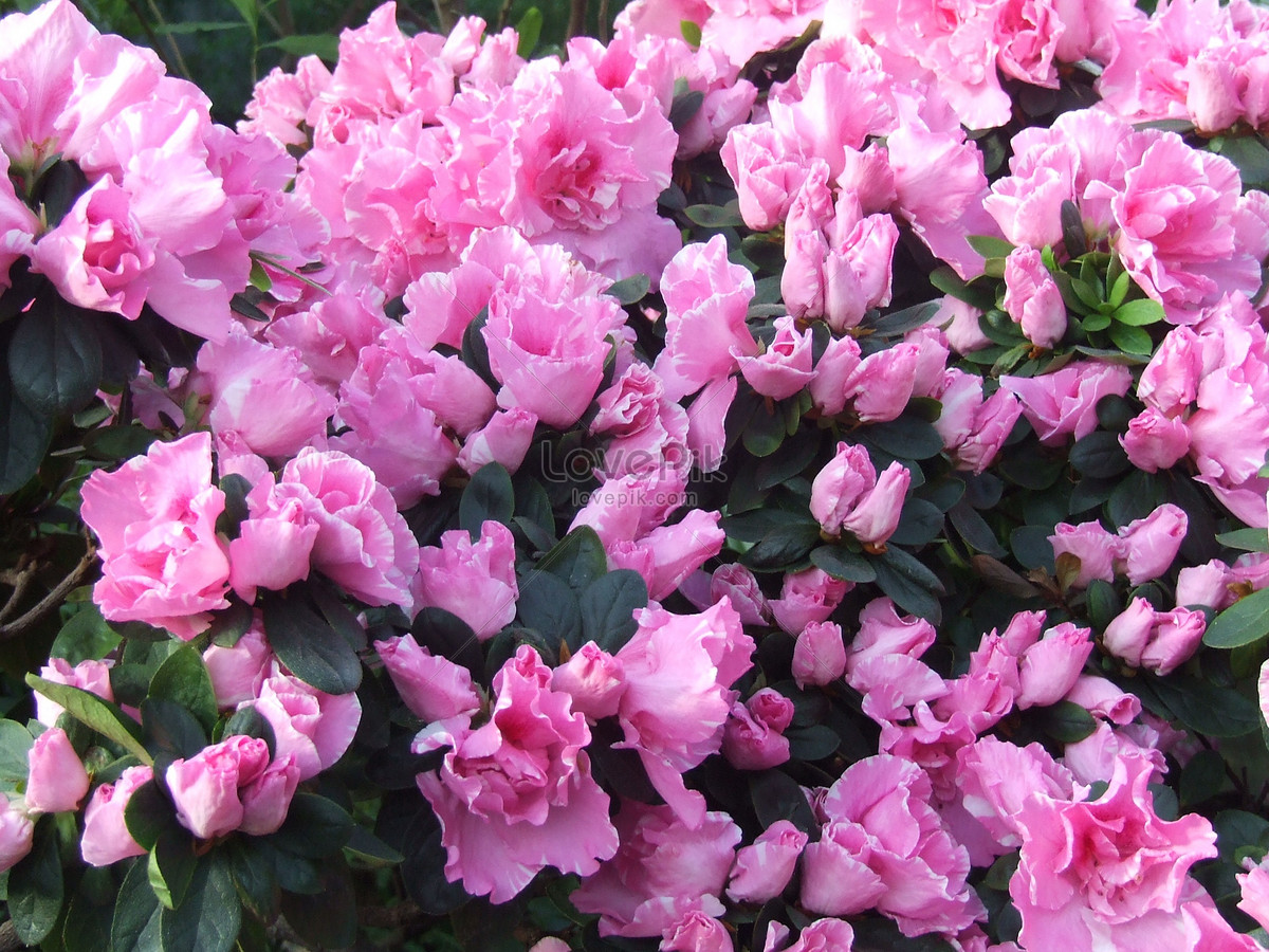 Beautiful Blooming Flowers Photo Imagepicture Free Download