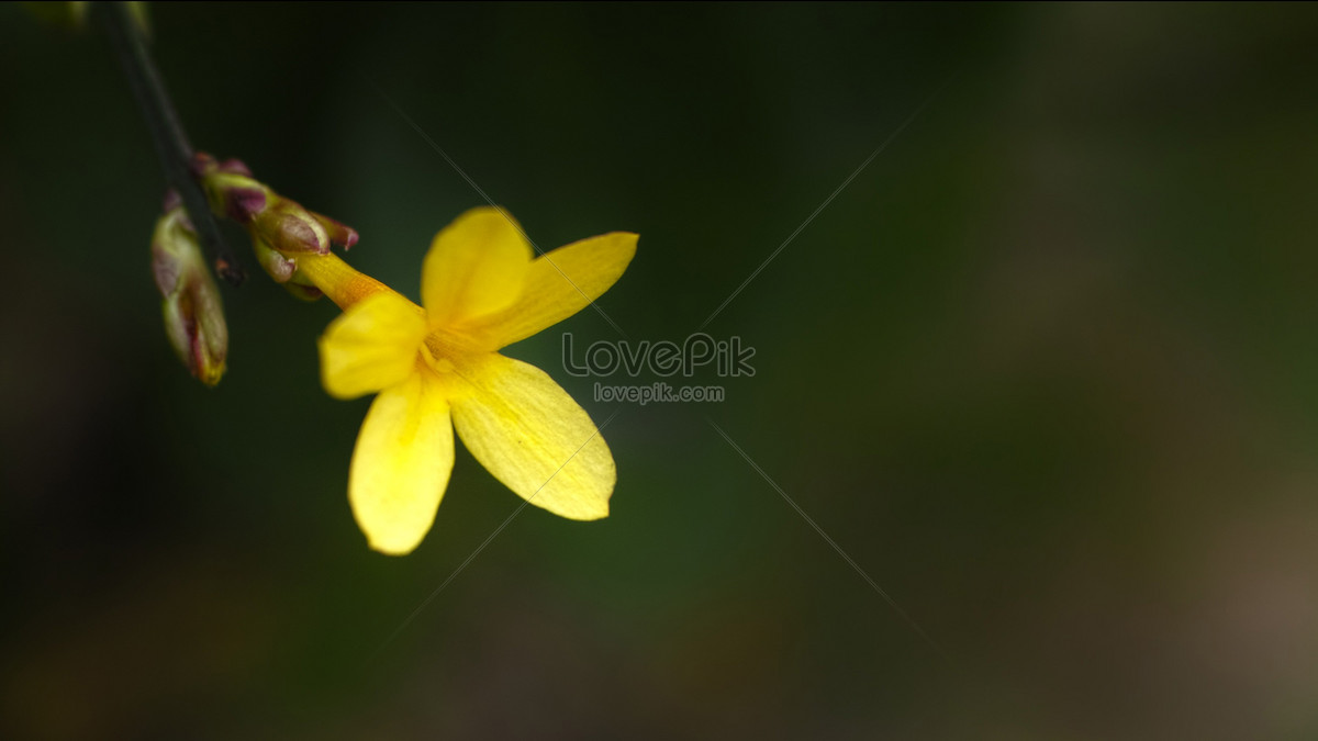 Five Petals Yellow Photo Imagepicture Free Download 117650lovepik