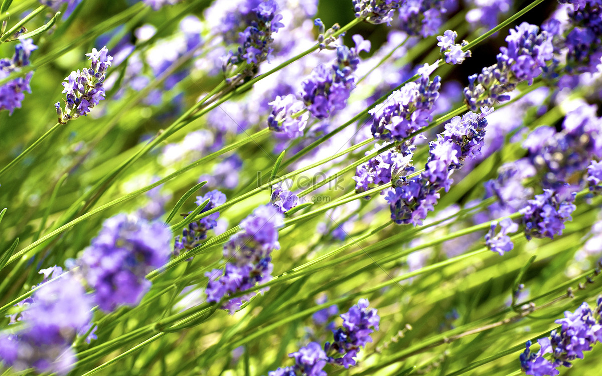 Beautiful lavender flowers photo imagepicture free download beautiful lavender flowers izmirmasajfo