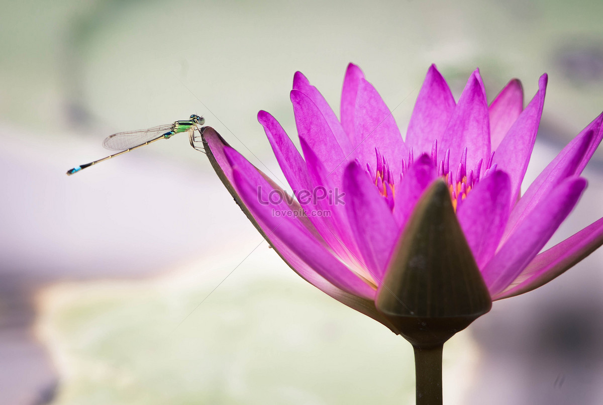 Dragonflies On The Lotus Flower Photo Imagepicture Free Download