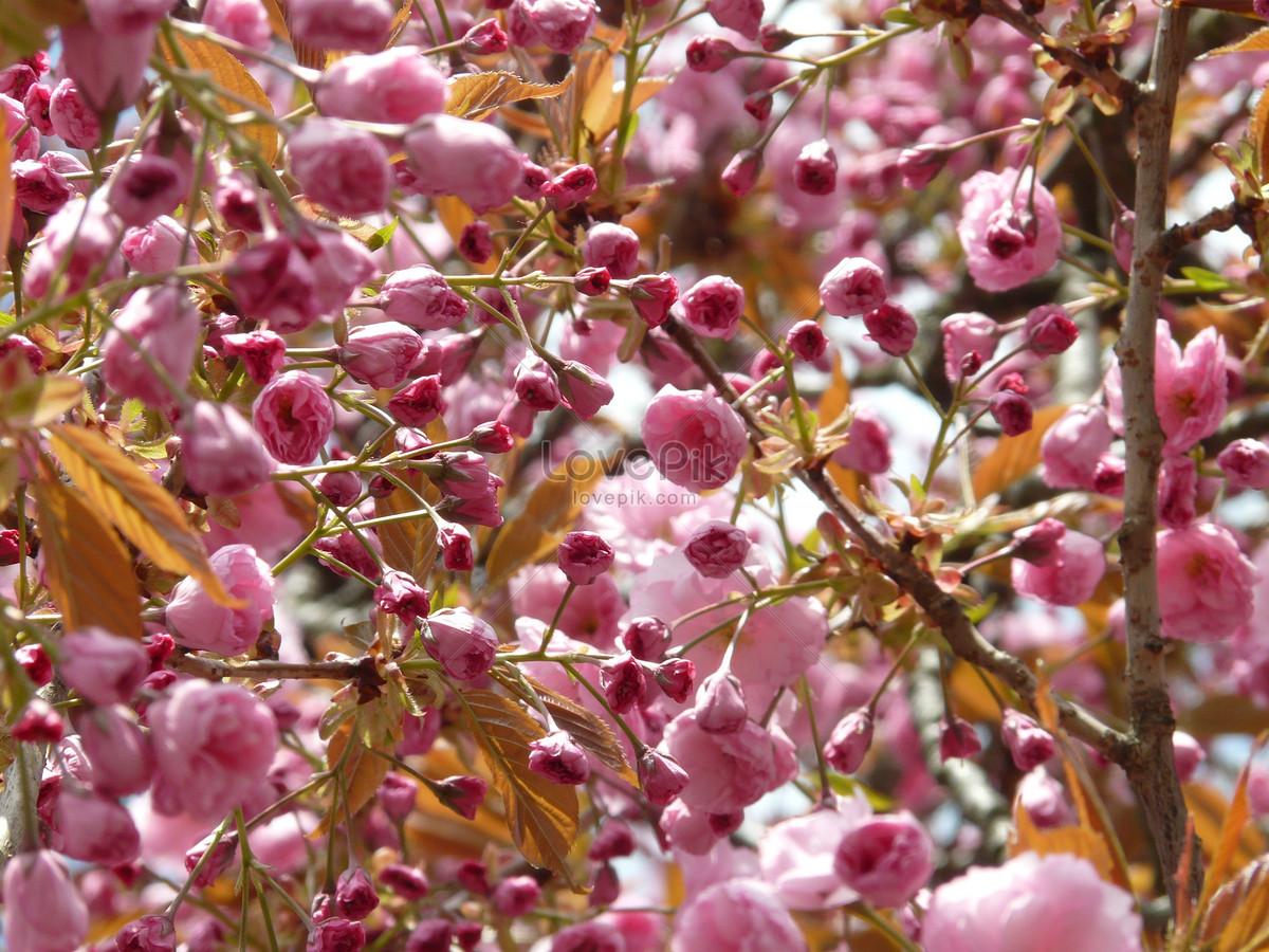 Mekar Bunga Sakura Jepang Gambar Unduh Gratis Foto 176239 Format