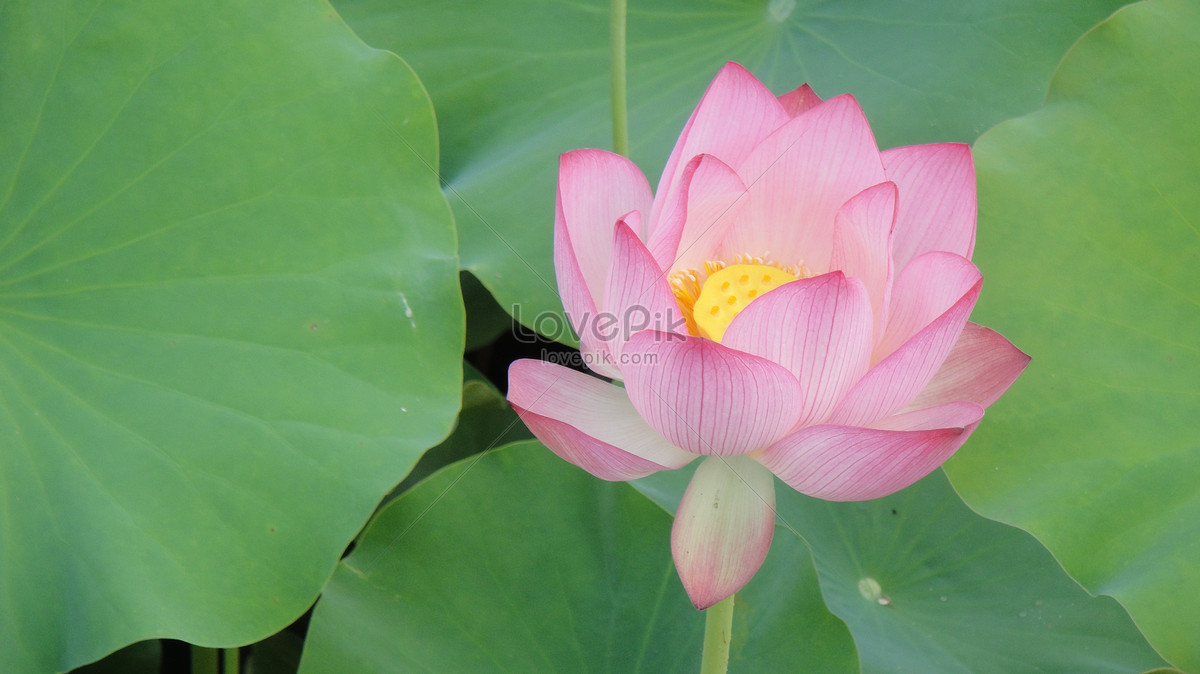 A Pink Lotus Flower In Full Bloom Photo Imagepicture Free Download