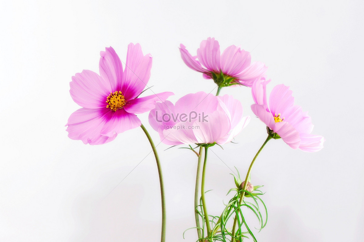 Pretty Pink Flowers Calliopsis Photo Imagepicture Free Download