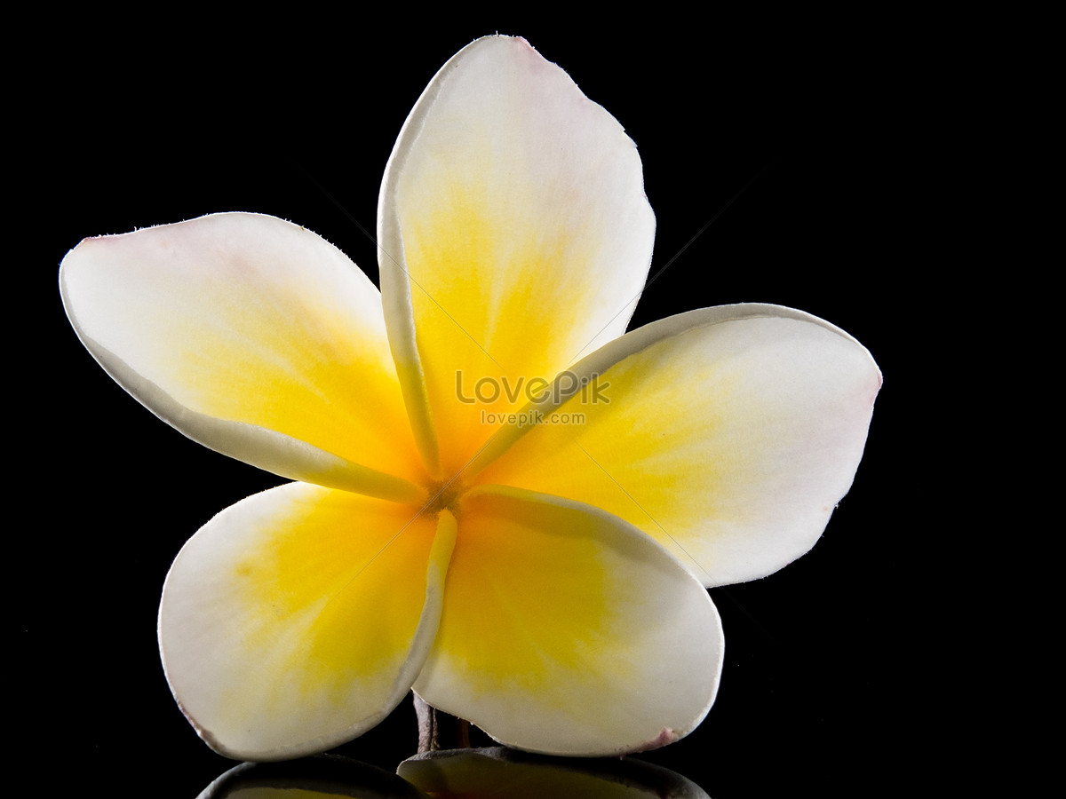 Five Petal White Flowers Of Yellow Pistil Photo Imagepicture Free