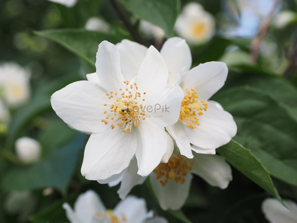 Jasmine Flowers Blooming Photo Imagepicture Free Download
