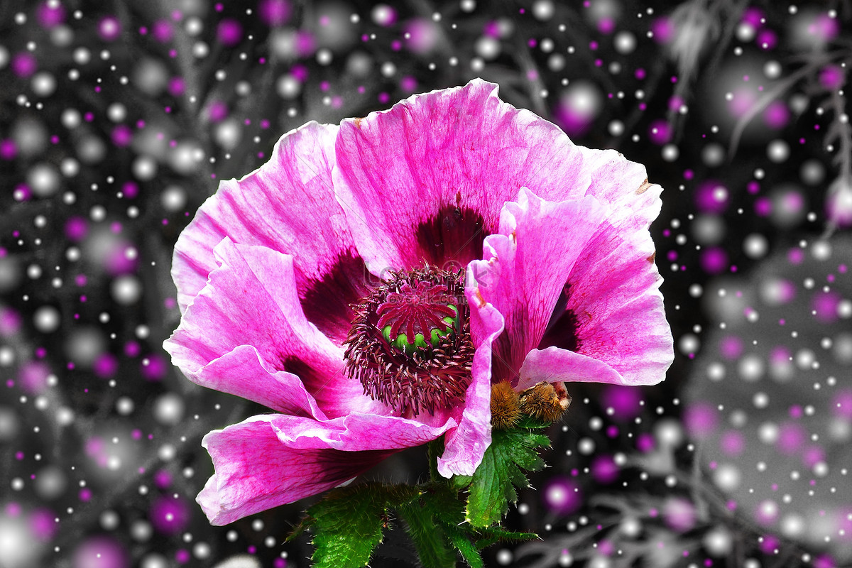 Pink Flowers In A Black Background Photo Imagepicture Free Download