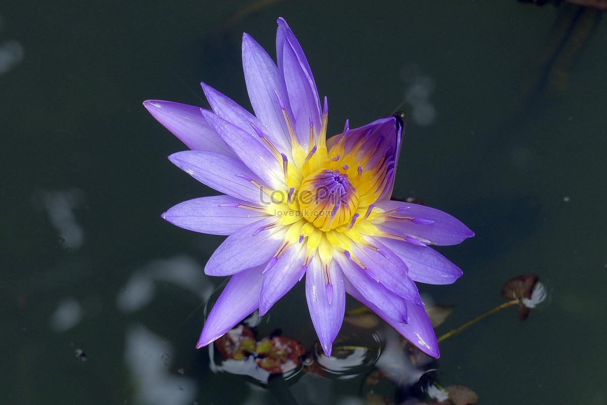 The purple lotus flower in the pond photo imagepicture free the purple lotus flower in the pond izmirmasajfo
