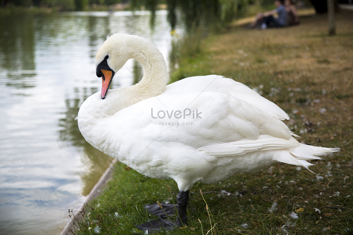 Swan images free stock photos download (242 free stock photos) for.