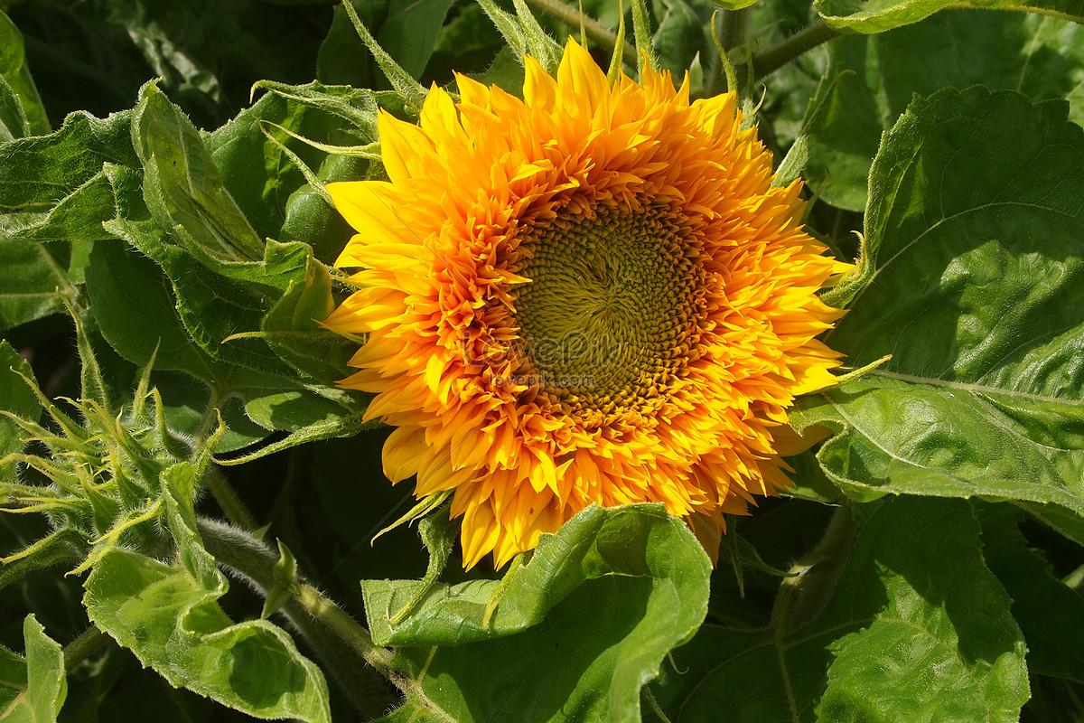 người đẹp hoa hướng dương