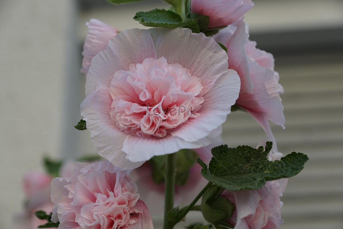 người đẹp hồng cẩm quỳ