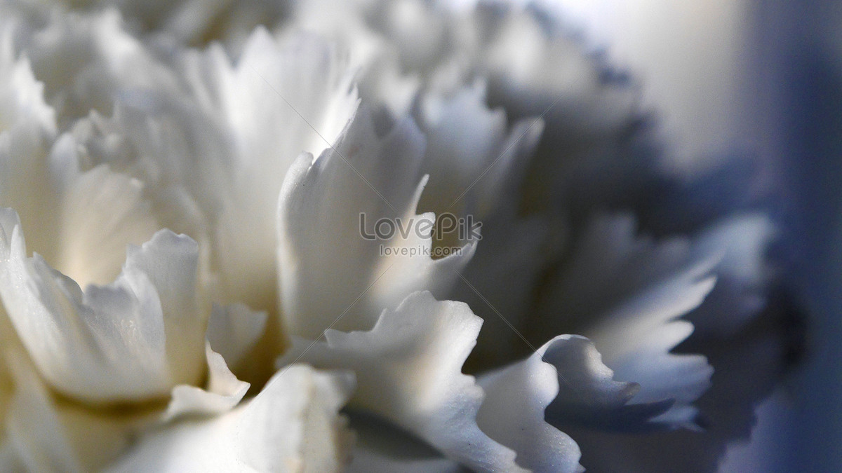White Carnation Petals Photo Imagesnature Pictures Id259242lovepik