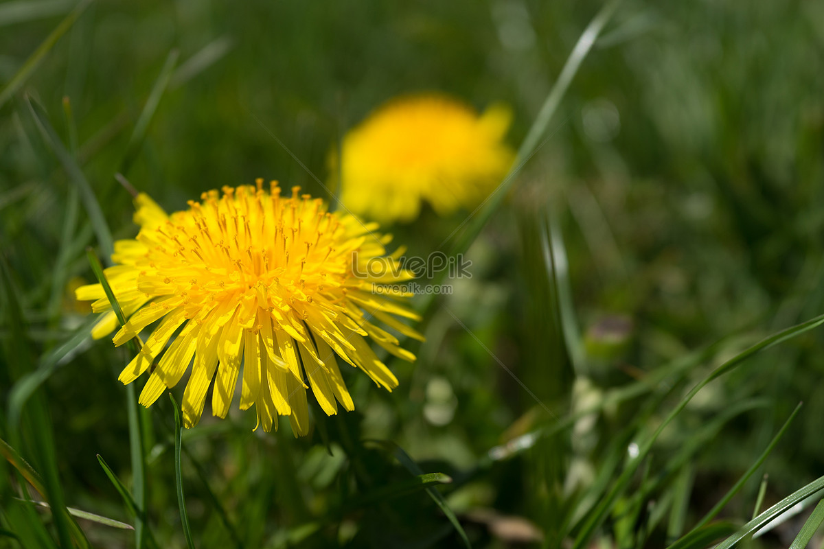 Small Yellow Flowers Blooming In The Grass Photo Imagepicture Free