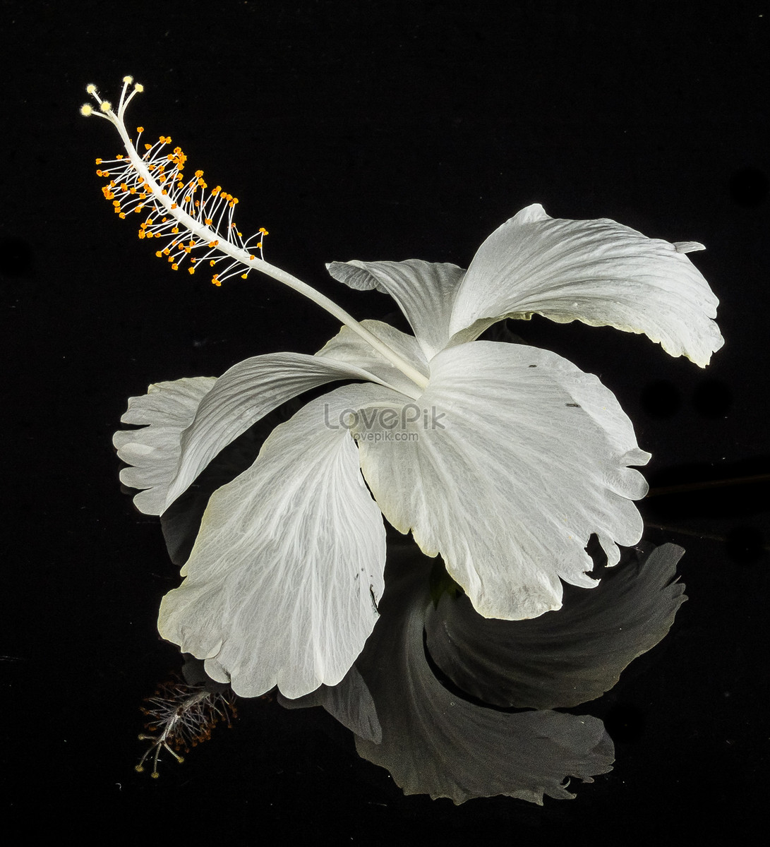 A white hibiscus flower photo imagepicture free download a white hibiscus flower izmirmasajfo
