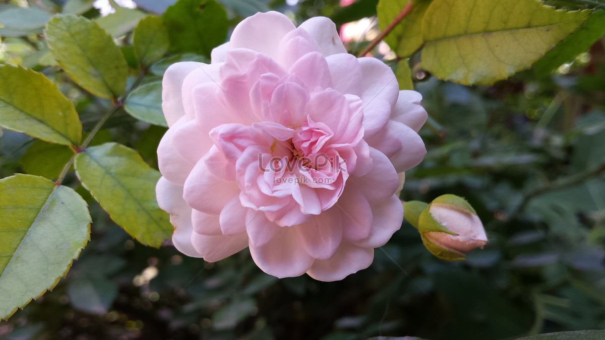 Beautiful Pink Flowers Photo Imagepicture Free Download