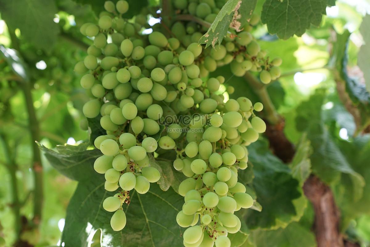 Виноград на виноградной лозе изображение_Фото номер 284251_jpg