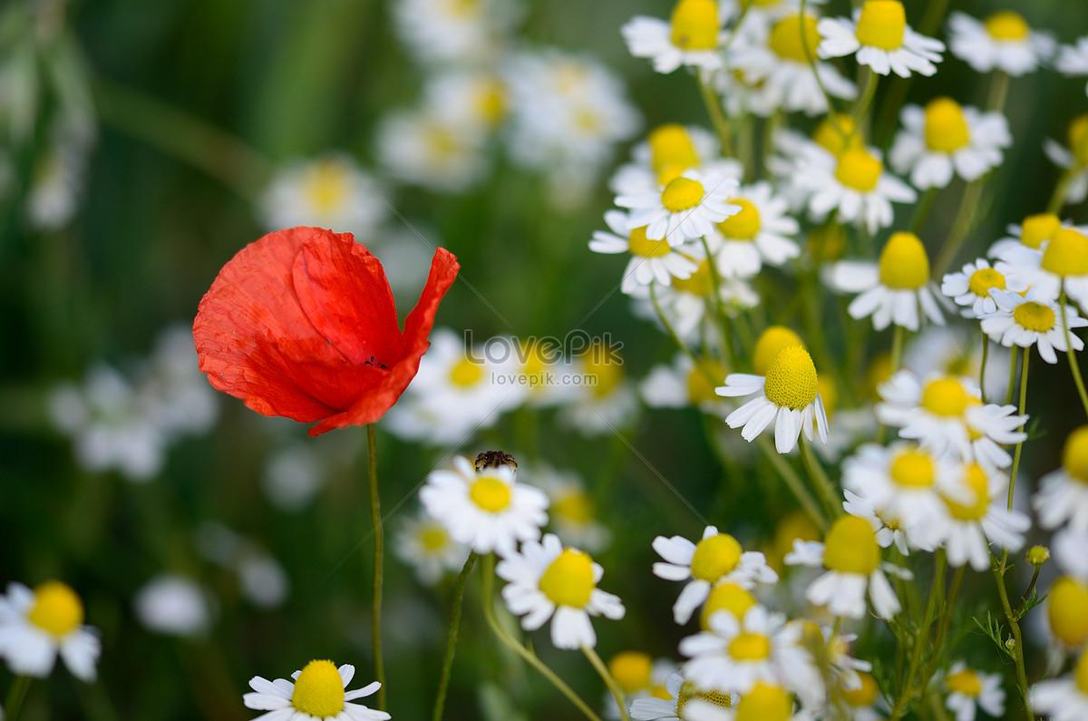 Opium Poppy Photo Imagesnature Pictures Id289229lovepik