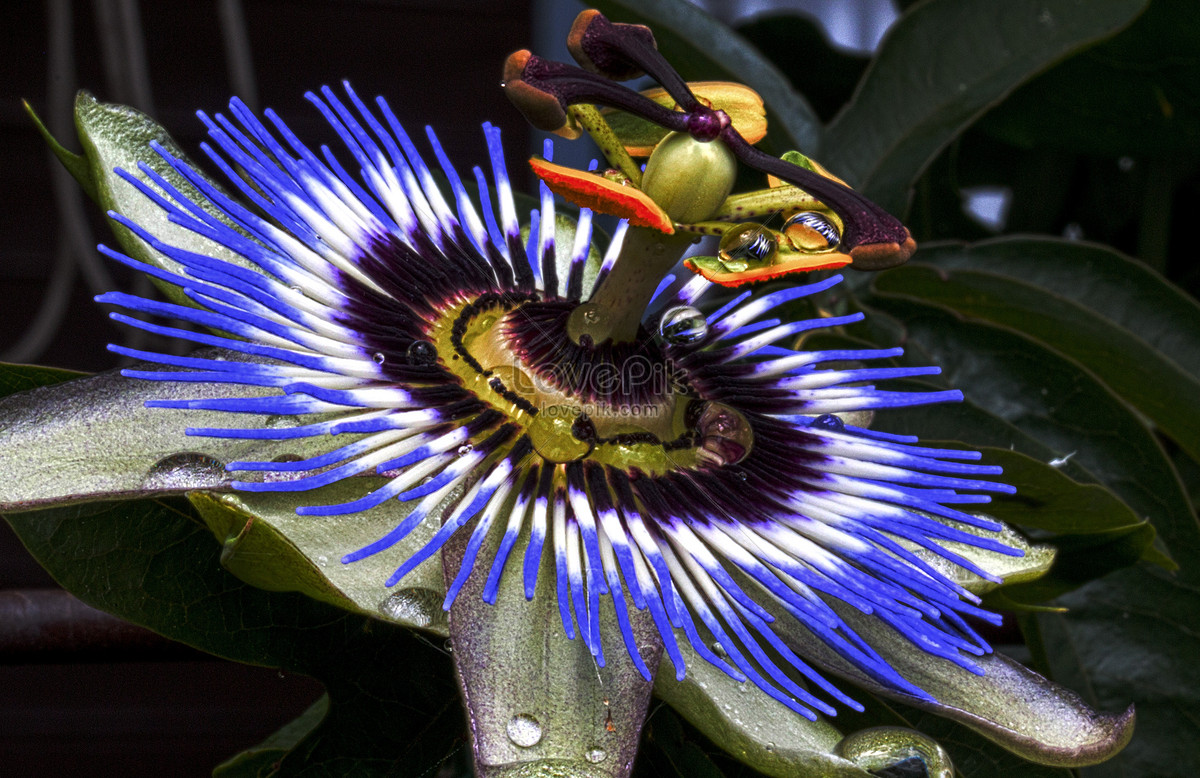 Beautiful Blue Passion Flower Photo Imagepicture Free Download