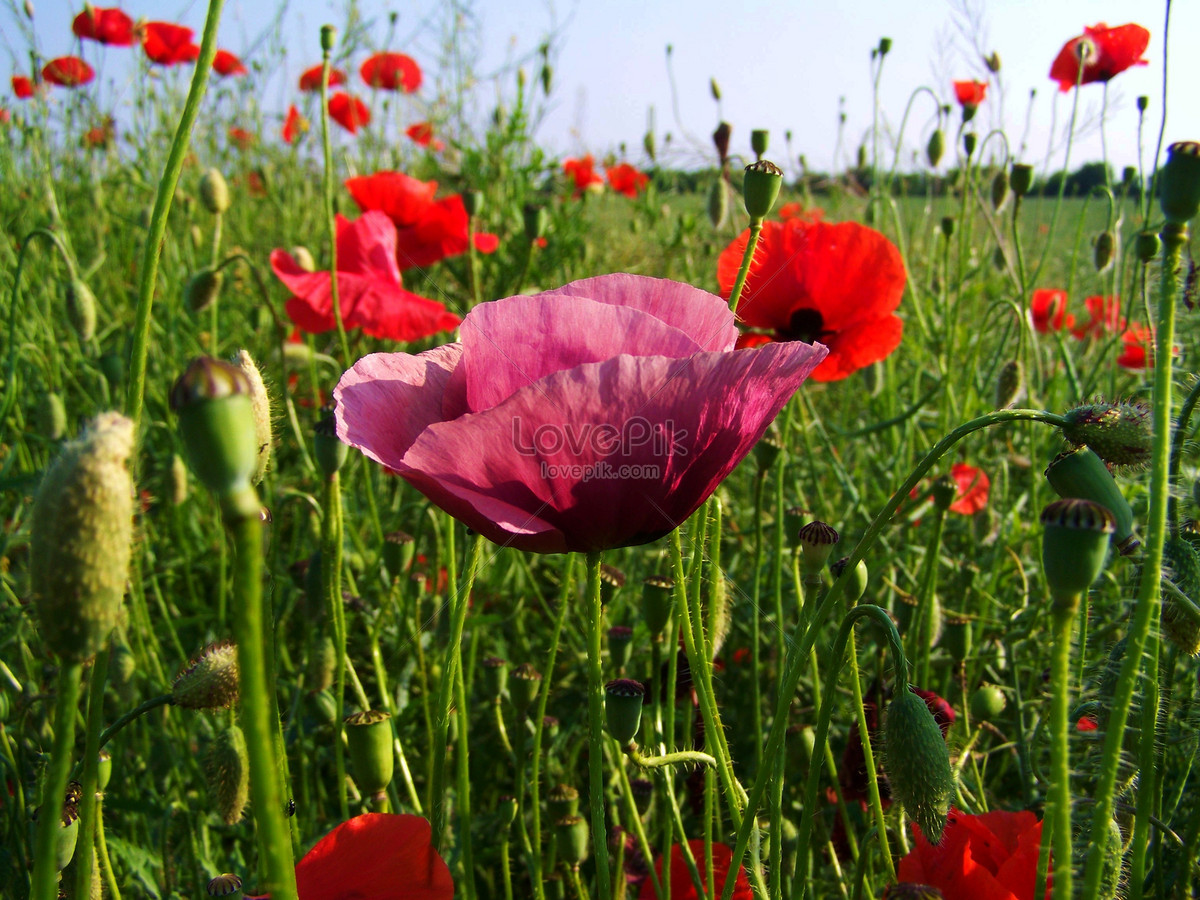 Beautiful Poppy Flowers Photo Imagepicture Free Download