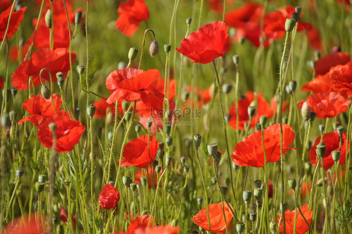 Opium Poppy Photo Imagesnature Pictures Id311778lovepik