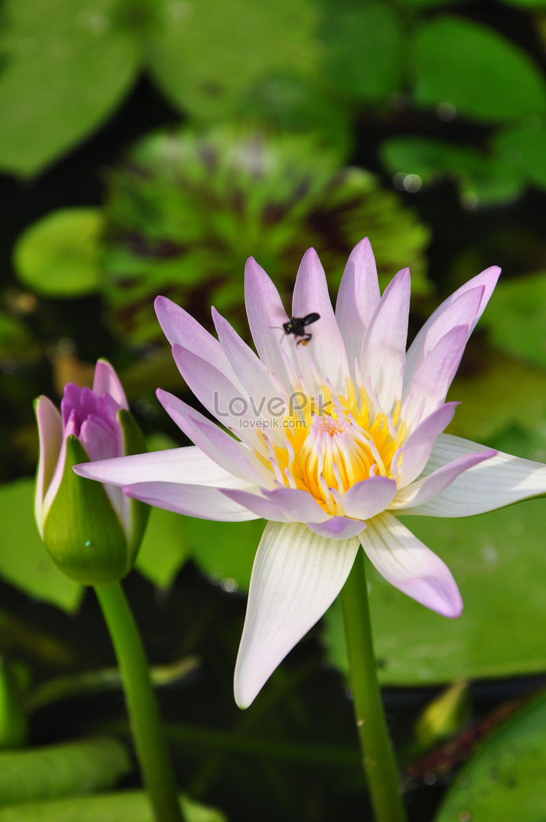 Beautiful Pink Lotus Flower Photo Imagepicture Free Download