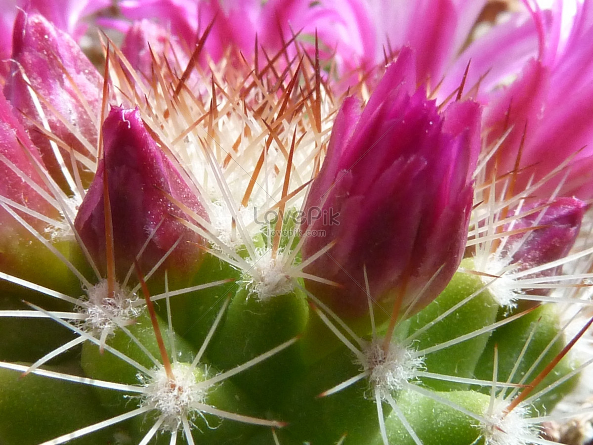 Beautiful Cactus Flowers Photo Imagepicture Free Download