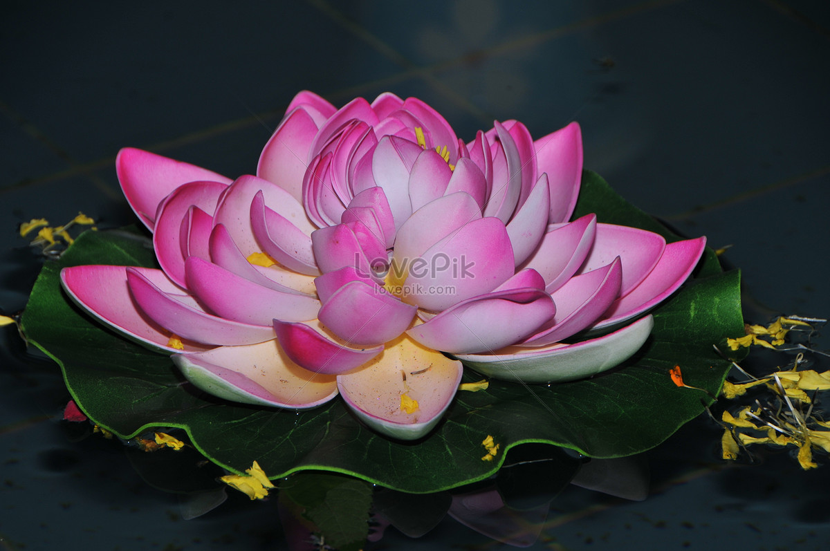 The Floating Lotus Flower In The Water Photo Imagepicture Free