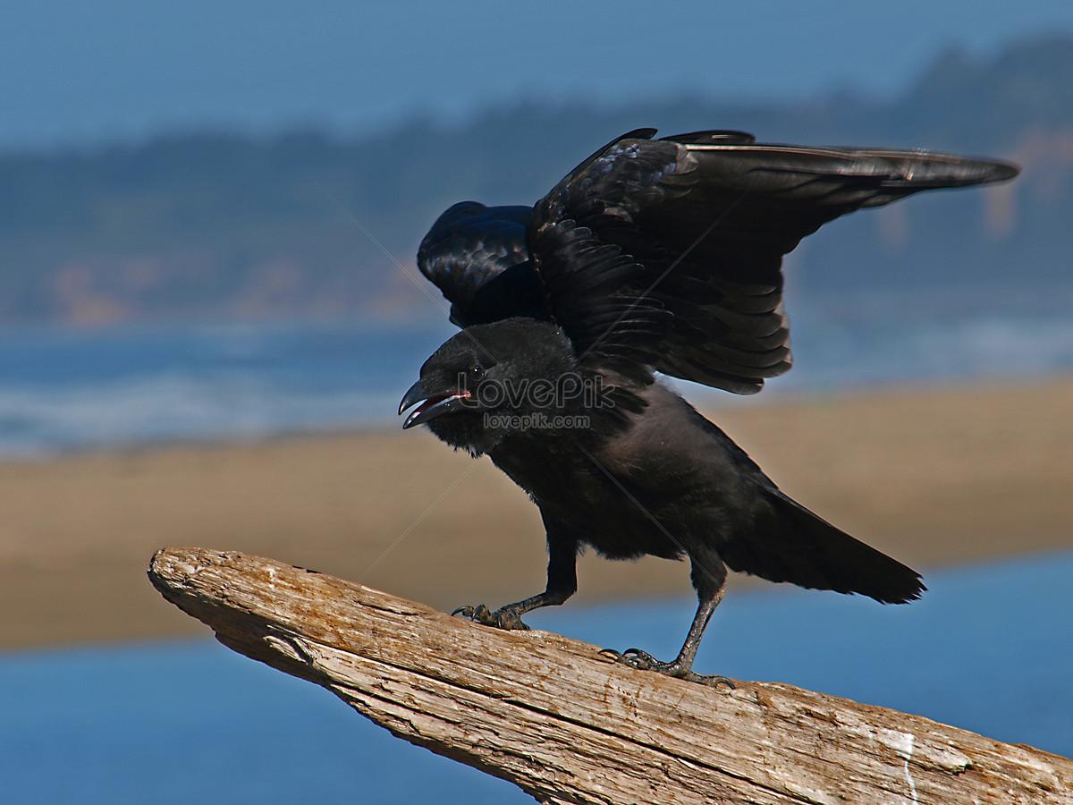 gagak terbang