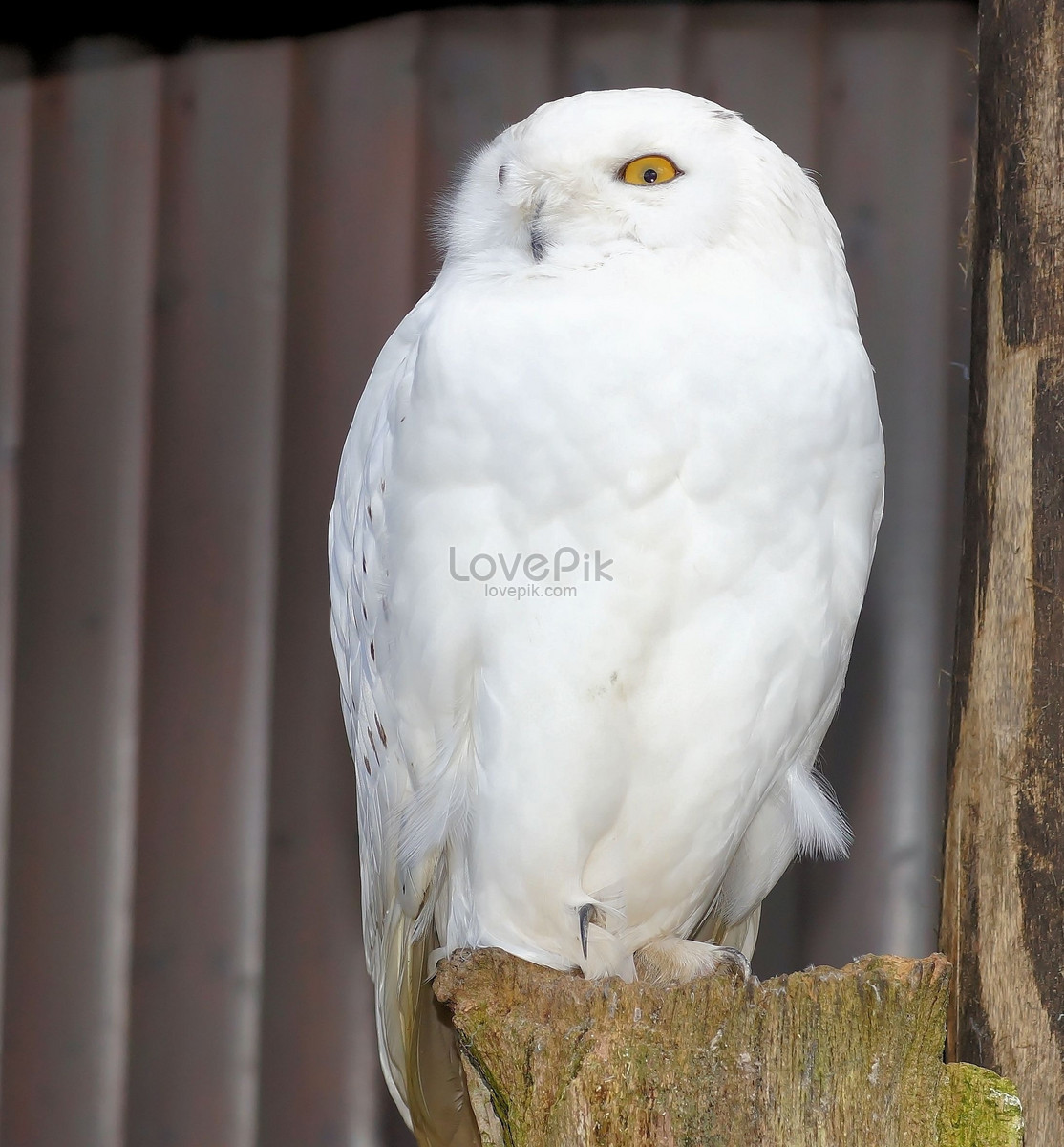 snowy owl photo image picture free download 406506