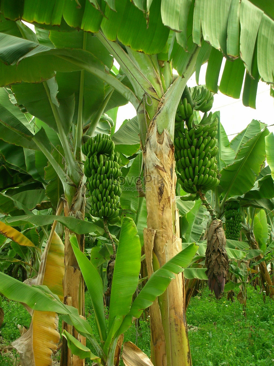 A Green Banana Tree Photo Image Picture Free Download 406706 Lovepik Com
