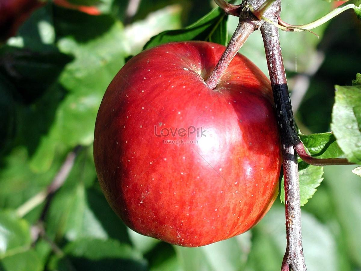 một quả táo đỏ lớn