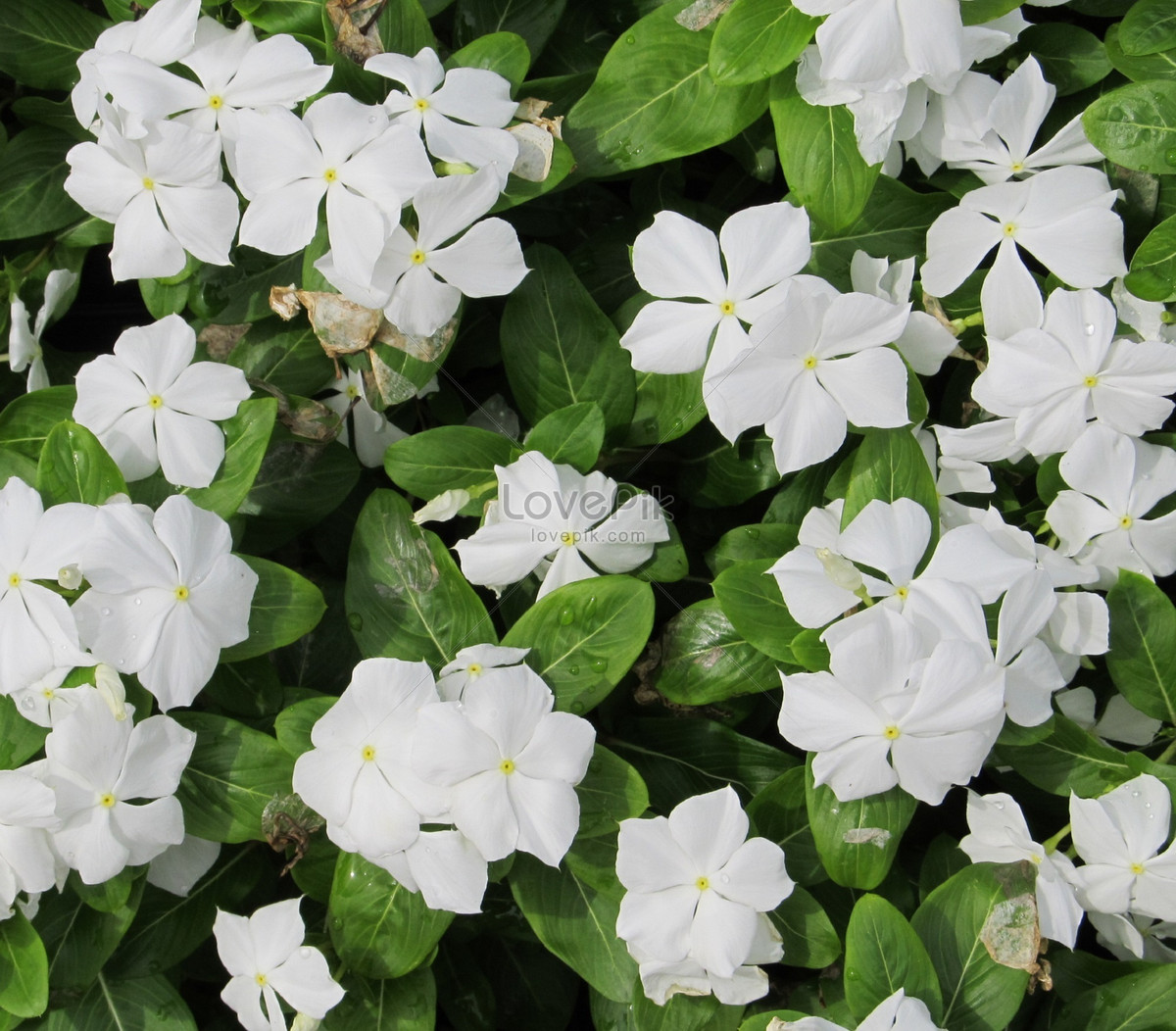 Small Vines And White Spring Flowers Photo Imagepicture Free