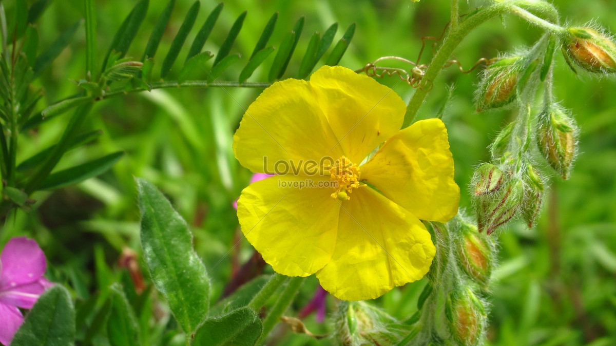 Beautiful Yellow Flowers Photo Imagepicture Free Download