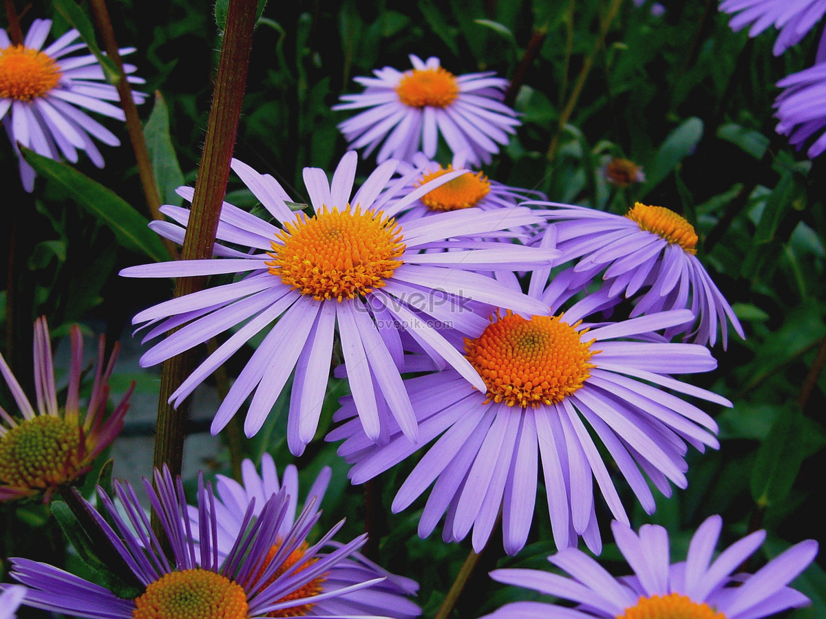 A Small Purple Daisy In The Spring Photo Imagepicture Free Download