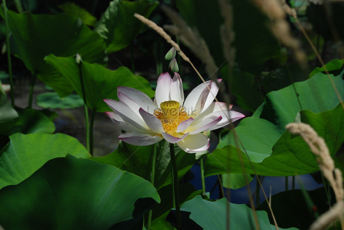 Lotus flowers blooming on the lake photo imagepicture free download lotus flowers blooming on the lake izmirmasajfo
