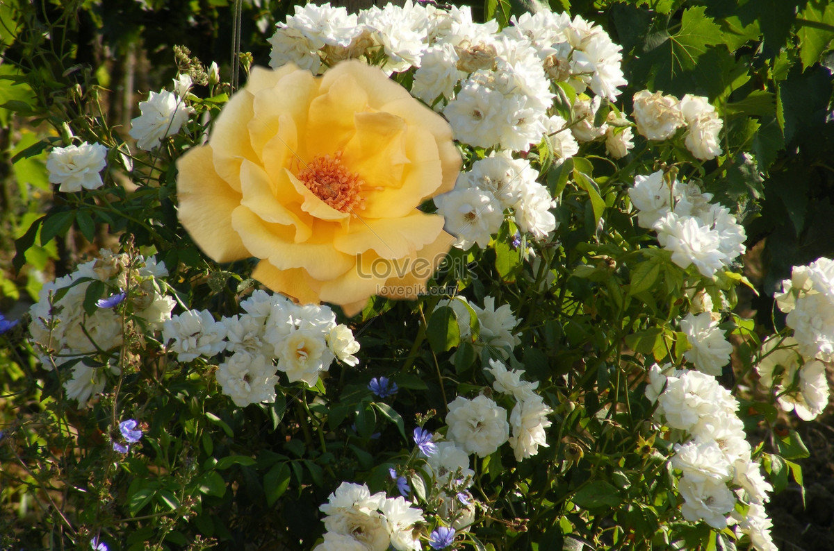 A yellow and white flower in the flower bushes photo imagepicture a yellow and white flower in the flower bushes mightylinksfo
