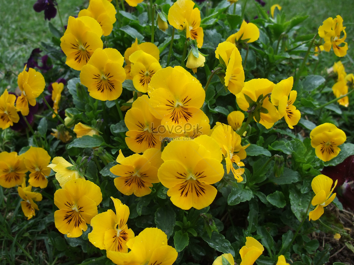Yellow Pansy Flowers Photo Imagepicture Free Download