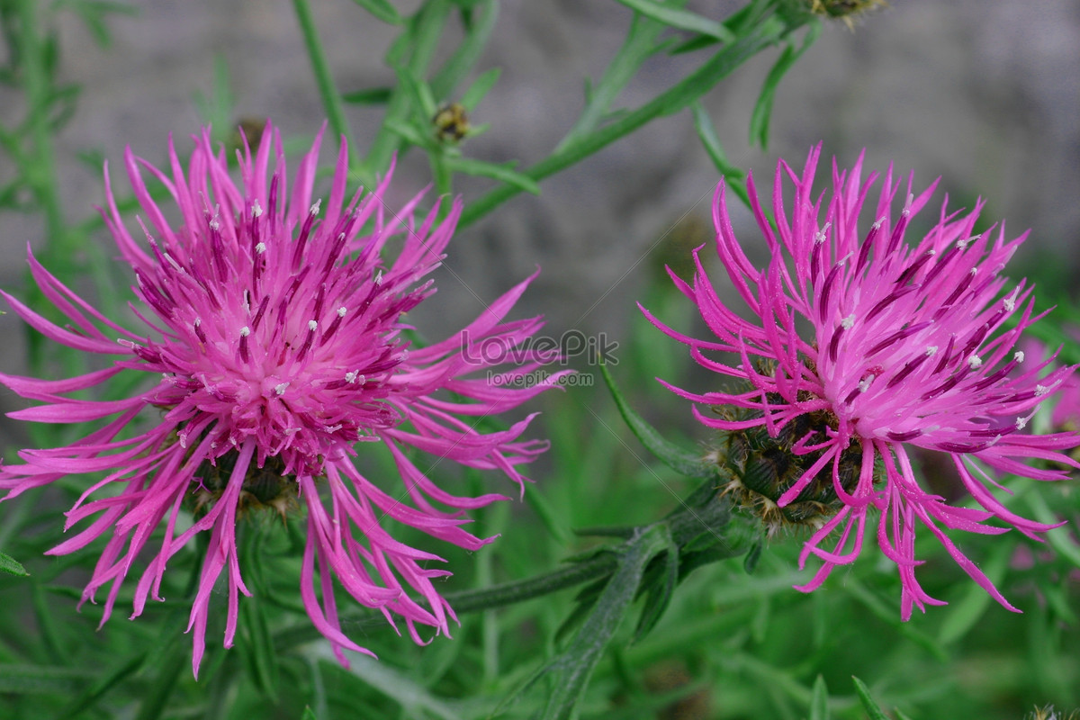 Purple Autumn Flowers Photo Imagepicture Free Download